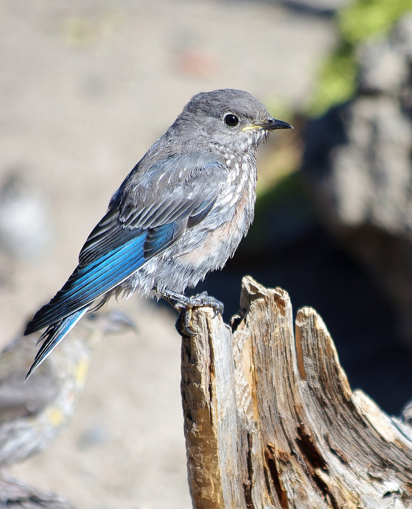 Immature Mountain Bluebird (Cabin Lake Oregon)