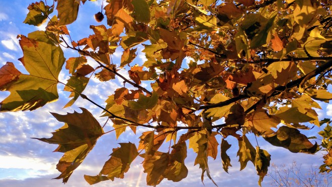 sycamore tree leaves in fall