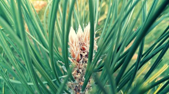 pine01