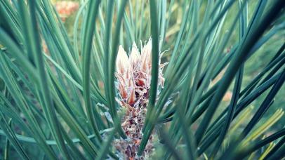 pine02