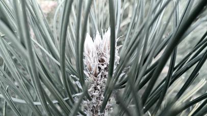 pine03
